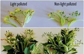 Fotoszintézis az utcai lámpák fényénél - Siska Flóra